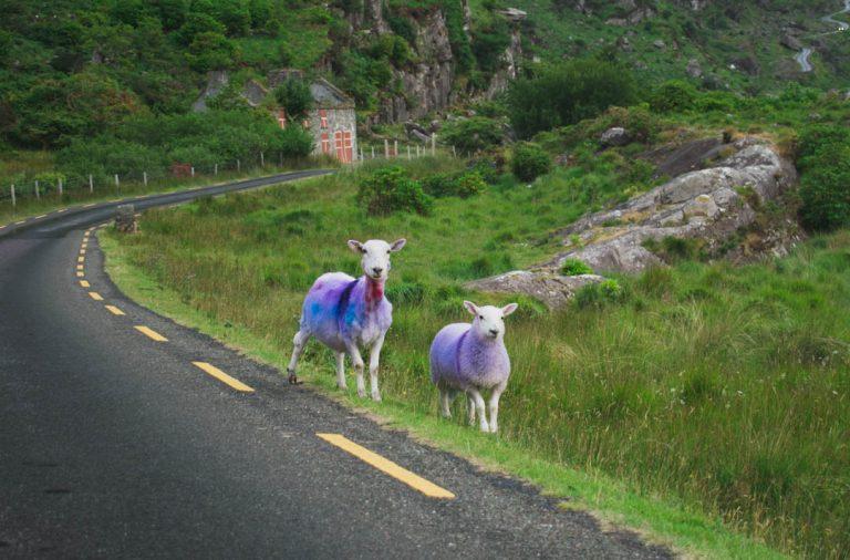 killarney gap of dunloe sheep ireland