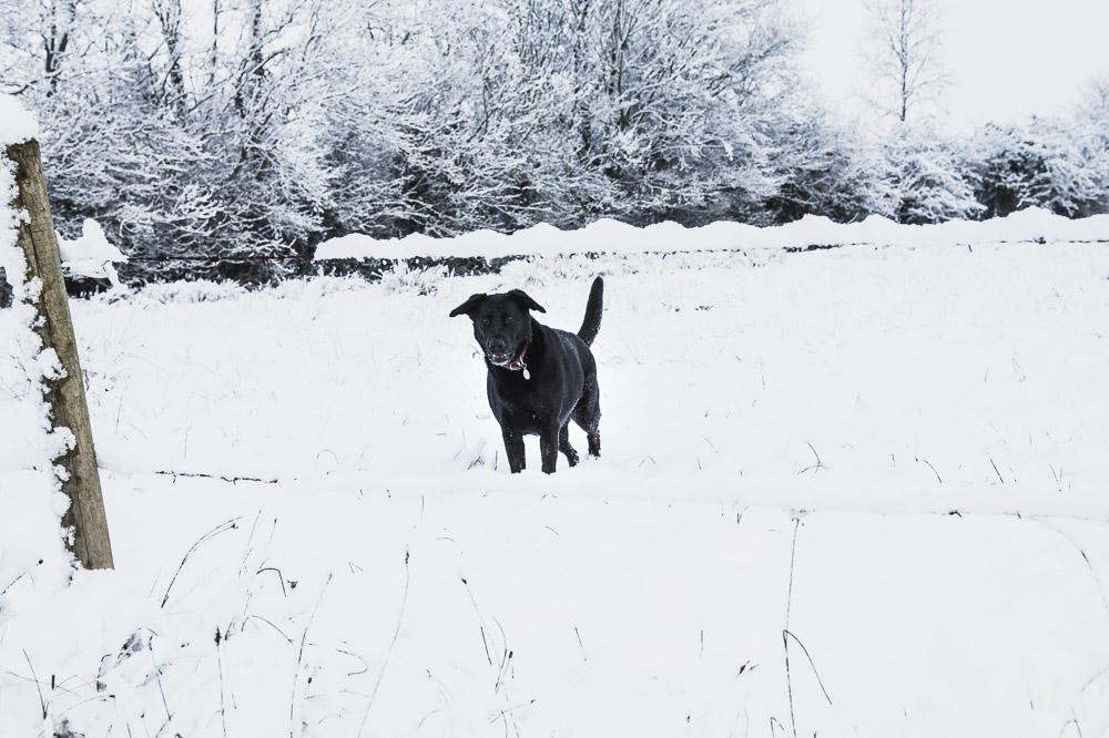 snow, dog ,ireland