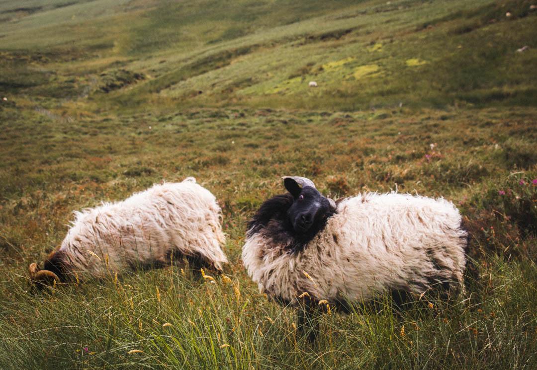 sheep, fermanagh, ireland