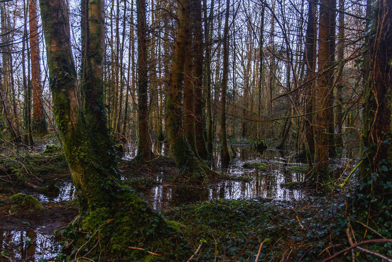 roscahill woods, galway, wet, puddles