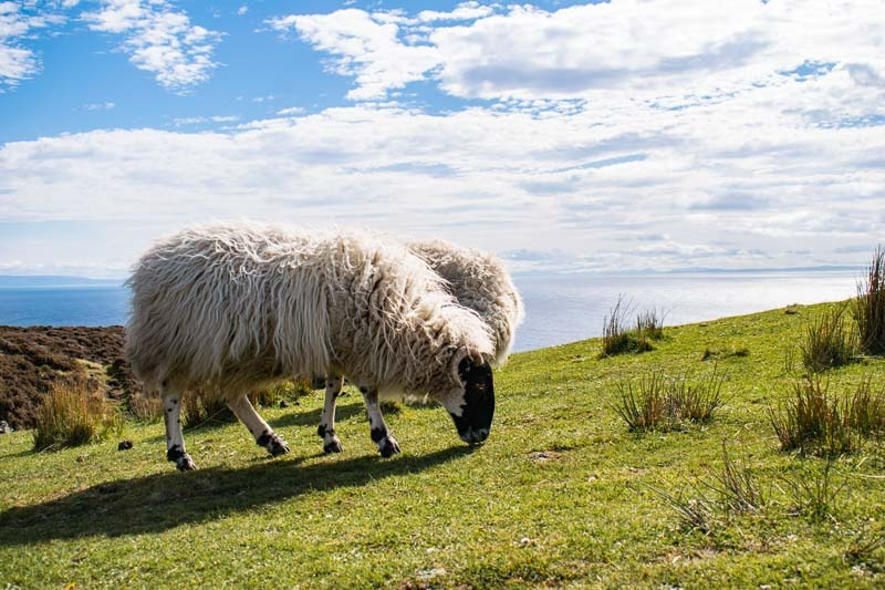 sheep, cliffs ireland